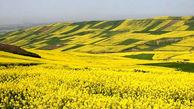 پیش بینی تولید بیش از ۱۰۰ هزار تن کلزا در گلستان