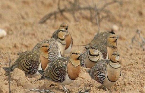 ۶۳ قطعه پرنده باقرقره در گنبدکاووس کشف شد