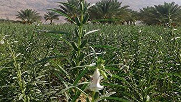 کنجد محصولی برای روزهای خشکسالی/ روی خوش کشاورزان کلالهای به کشت کنجد