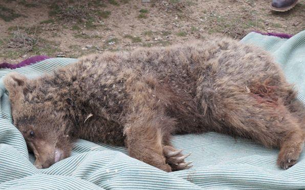 توضیح مدیرکل محیط زیست گلستان در خصوص مرگ یک خرس