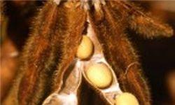 توصیه جهاد کشاورزی به سویاکاران برای جلوگیری از آفات سویا