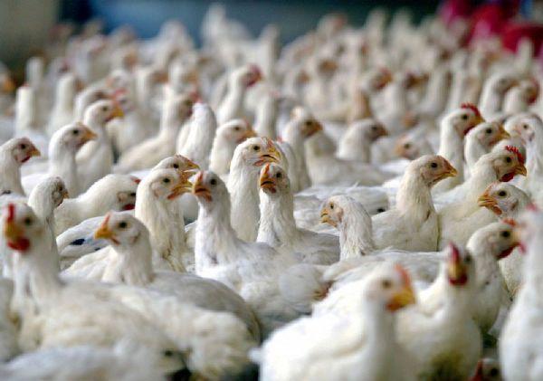 تولید مرغ در گلستان با صرفه تر از دیگر مناطق است