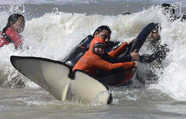 نجات 6 نهنگ قاتل! + تصویر